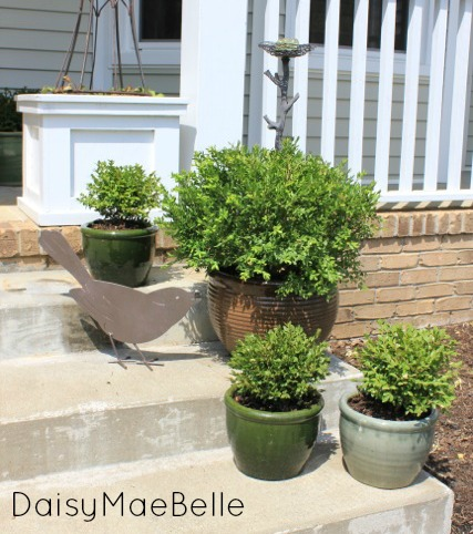 Potted Boxwoods @ DaisyMaeBelle