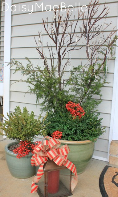Potted Boxwoods for Christmas @ DaisyMaeBelle