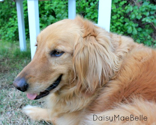 Golden Retriever @ DaisyMaeBelle