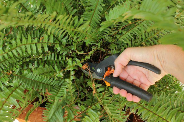pruning fern